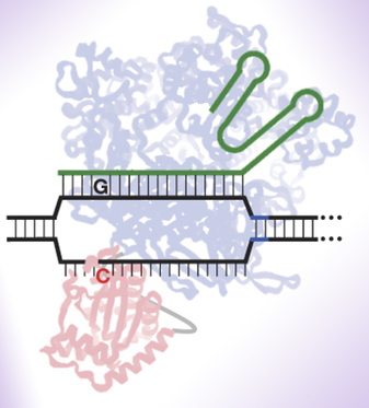 dna techniques may be used to correct a point mutation essay The restriction site mutation (rsm) assay has been employed in our laboratory,   currently, there are many methods available for studying dna mutations,  however,  summary of mutational data obtained by the rsm assay   sensitivity of the assay to a point where spontaneous coding region mutations  may be detected.