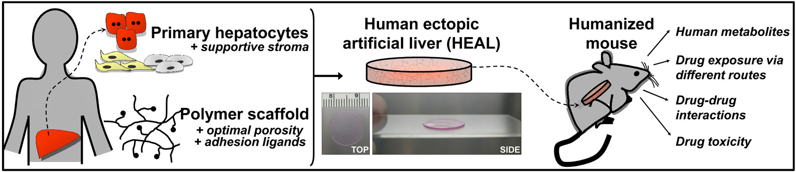 "Liver cells from a human donor (primary hepatocytes), human endothelial cells, and mouse fibroblasts are encapsulated together in a polymer skeleton and then implanted in a mouse. The implant forms a so-called human ectopic artificial liver (HEAL). Mice with HEALs are ""humanized"" because they harbor a human liver in addition to their own liver. HEALs provide insight into human biology, predicting how new drugs might behave in humans. (Figure adapted from PNAS. 2011;108(29):11842–7.)"