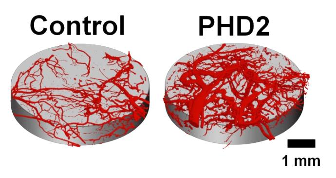 This is an image that shows increased blood vessel volume in mice that received Duvall's scaffold