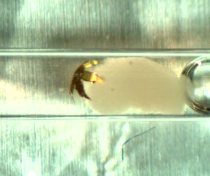 In response to a temperature change, a tetherless microgripper grabs onto a clump of live cells (red) at the end of a narrow glass capillary tube. The microgripper was guided out of the tube with captured cells in its grasp.