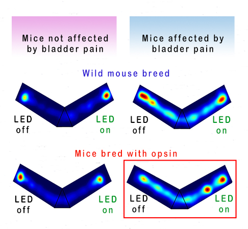 Illustration of effect of green LED on behavior of mice whose pain is alleviated by activation of an opsin that silences pain signals in neurons.