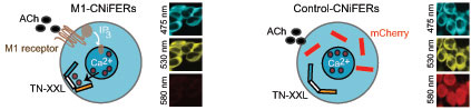 """La liberación de calcio provocada por la activación del receptor de acetilcolina en M1-CNiFERs acerca más entre sí los """"brazos"""" amarillo y azul de TN-XXL, cambiando su color. En los CNiFERs de control, que carecen del receptor de acetilcolina, la TN-XXL mantiene una forma abierta y un color estable. (Adaptado con permiso de Macmillan Publishers Ltd: Nature Neuroscience, Volume 13, 127-132, 2010.)"""