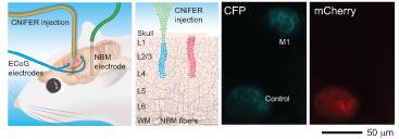 Pruebas de la sensibilidad del CNiFER in vivo: M1-CNiFERs (azul) y CNiFERs de control (rojo) fueron implantados en diferentes lugares del cerebro de una rata, y se implantaron electrodos para estimular la liberación de acetilcolina. (Adaptado con permiso de Macmillan Publishers Ltd: Nature Neuroscience, Volume 13, 127-132, 2010.)