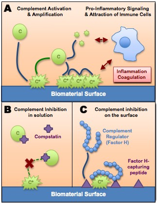 (A) When blood contacts a biomaterial, inactive complement components [C] bind to its surface and are converted to an active form [C*]. Activated complement attracts immune cells, leading to inflammation and increased risk for blood clotting (coagulation). Biomaterial-triggered complement activation and subsequent clotting can be tamed by using complement inhibitors (B) or by coating the biomaterial surface with peptides that attract complement regulators to prevent its activation locally (C).