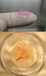 Top: Image of a bioengineered human liver the size of a finger tip. Bottom: Bioengineered