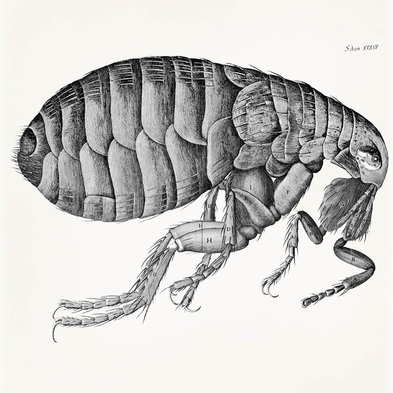 Hooke's flea illustration