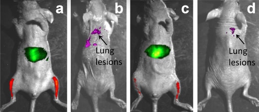 Four photos of a mouse with a glowing liver and legs in two of them and glowing lungs in the other two.