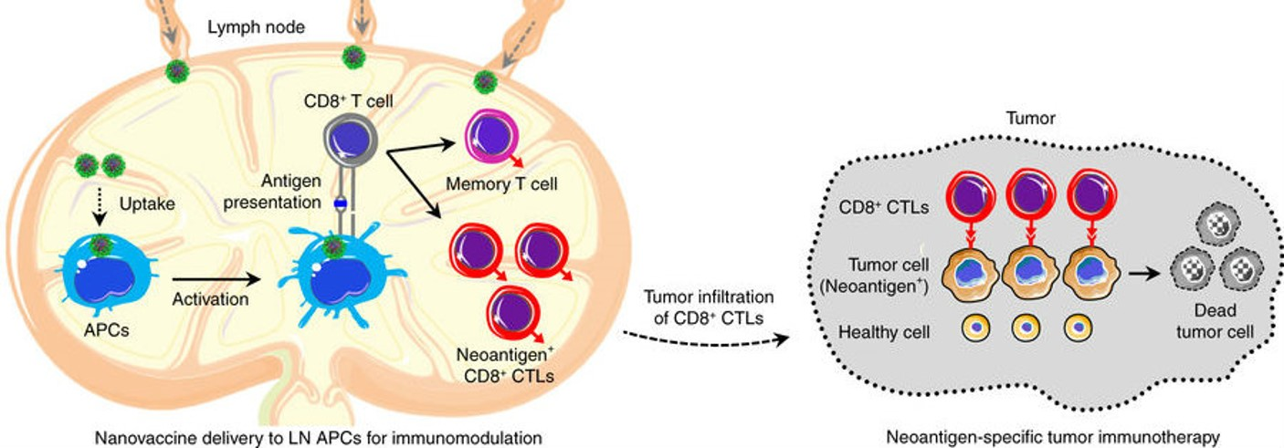 Shematic of nanovaccine stimulation of CTLs in lymph nodes