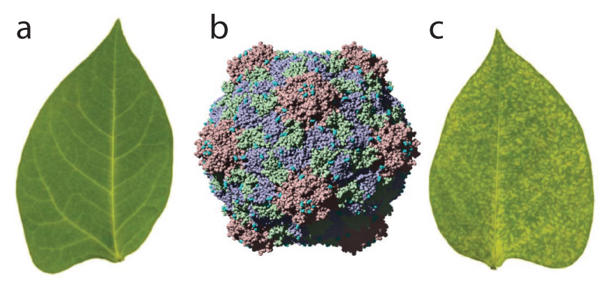 To obtain large quantities of plant-derived viral nanoparticles for research, scientists grow viruses in laboratory greenhouses. Leaves of black-eyed pea plants (a) are infected with the cowpea mosaic virus (b, computer-generated 3D model of the virus structure), which quickly starts multiplying and spreading throughout the plants, and in 7–10 days the leaves start showing signs of infection (c). Adapted by permission from Macmillan Publishers Ltd: Nature Protocols, 5(8):1406-17, copyright 2010. http://www.nature.com/nprot/journal/v5/n8/full/nprot.2010.103.html];[/nibib/Image/Eadvances/Feb12/Schematic_Sm.png]; alt = To turn the cowpea mosaic virus (blue) into a nanoparticle for prostate cancer imaging, researchers attach different molecules—the fluorescent dye (pink stars) for visualization, polyethylene glycol (black squiggly lines) for stability, and bombesin (green triangle) for latching onto tumor cells.