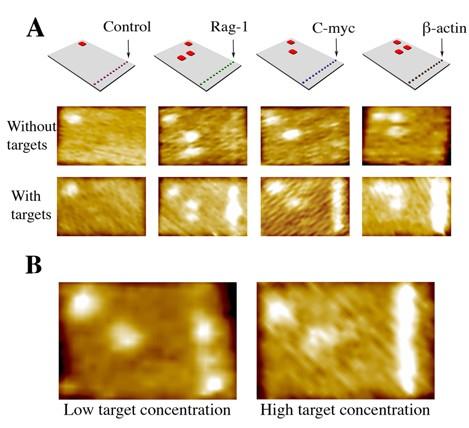 A, Arriba: Cada teja de ADN contiene una línea de sondas a lo largo de su borde derecho para capturar uno de tres genes objetivos: Rag-1, C-myc, y ß-actin. Las tejas son identificables por una código de barras (en rojo) en la esquina superior izquierda. Centro: El microscopio de fuerza atómica (AFM) puede distinguir cada teja por su código de barras (vistas como puntos brillantes). Abajo: Cuando una mezcla de objetivos es combinada con los cuatro tipos de tejas, las sondas capturan sus objetivos específicos, y la línea en el borde de la teja se enciende.