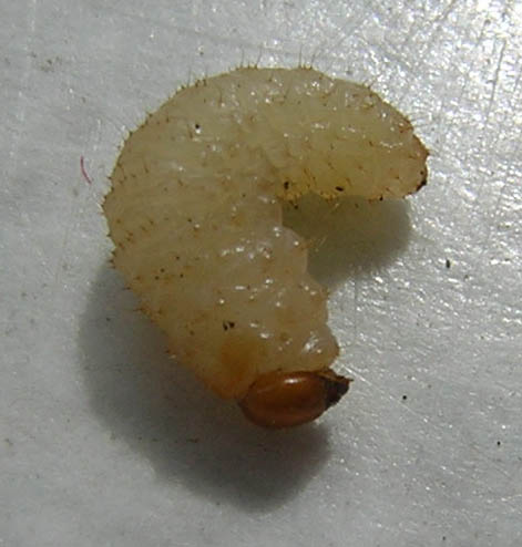 This is a close up image of a maggot