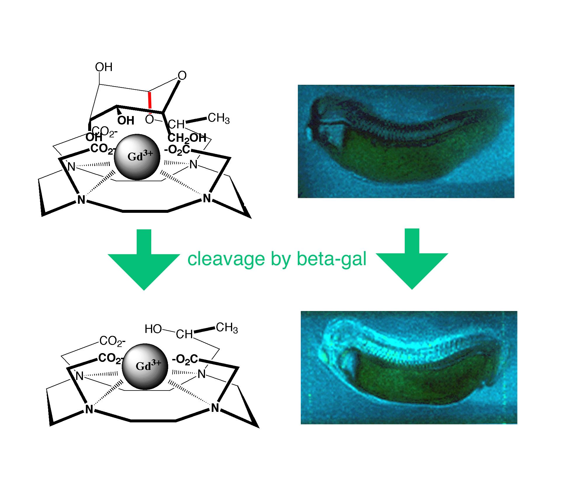 La MRI detecta la señal brillante de un nuevo agente de contraste inyectado en un renacuajo que se activa con la enzima ß-galactosidasa. Usando agentes de contraste bioactivados, los investigadores pueden rastrear la expresión genética en organismos vivos. Cortesía de Thomas Meade, Universidad de Northwestern.