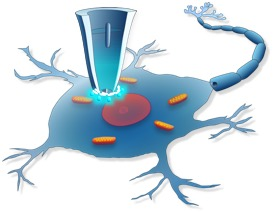 The fine-tipped nanopipette can repeatedly sample a neuron without disturbing its function.