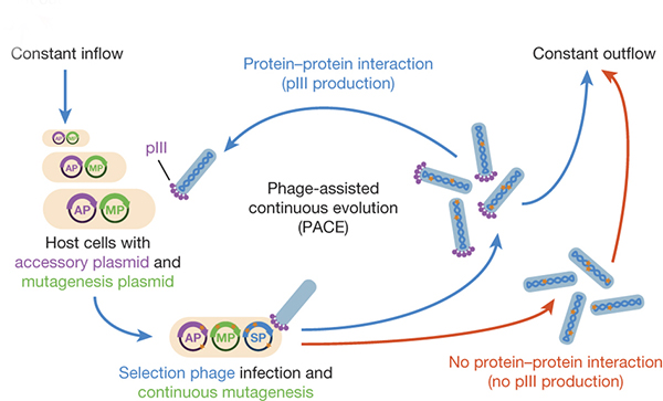 Phage-assisted continuous evolution system diagram