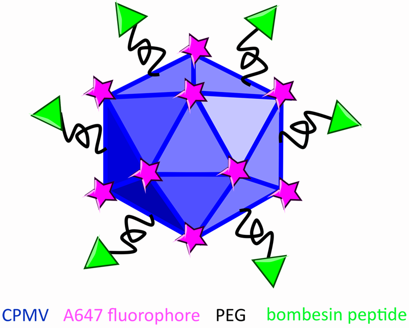 To turn the cowpea mosaic virus (blue) into a nanoparticle for prostate cancer imaging, researchers attach different molecules—the fluorescent dye (pink stars) for visualization, polyethylene glycol (black squiggly lines) for stability, and bombesin (green triangle) for latching onto tumor cells.