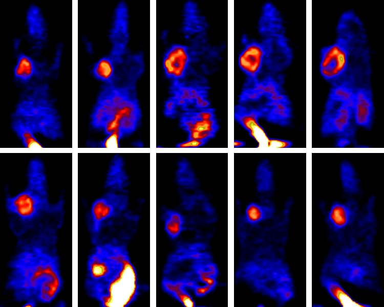 This picture contains multiple sequential images of rat PET scans showing changes in a tumor following treatment.