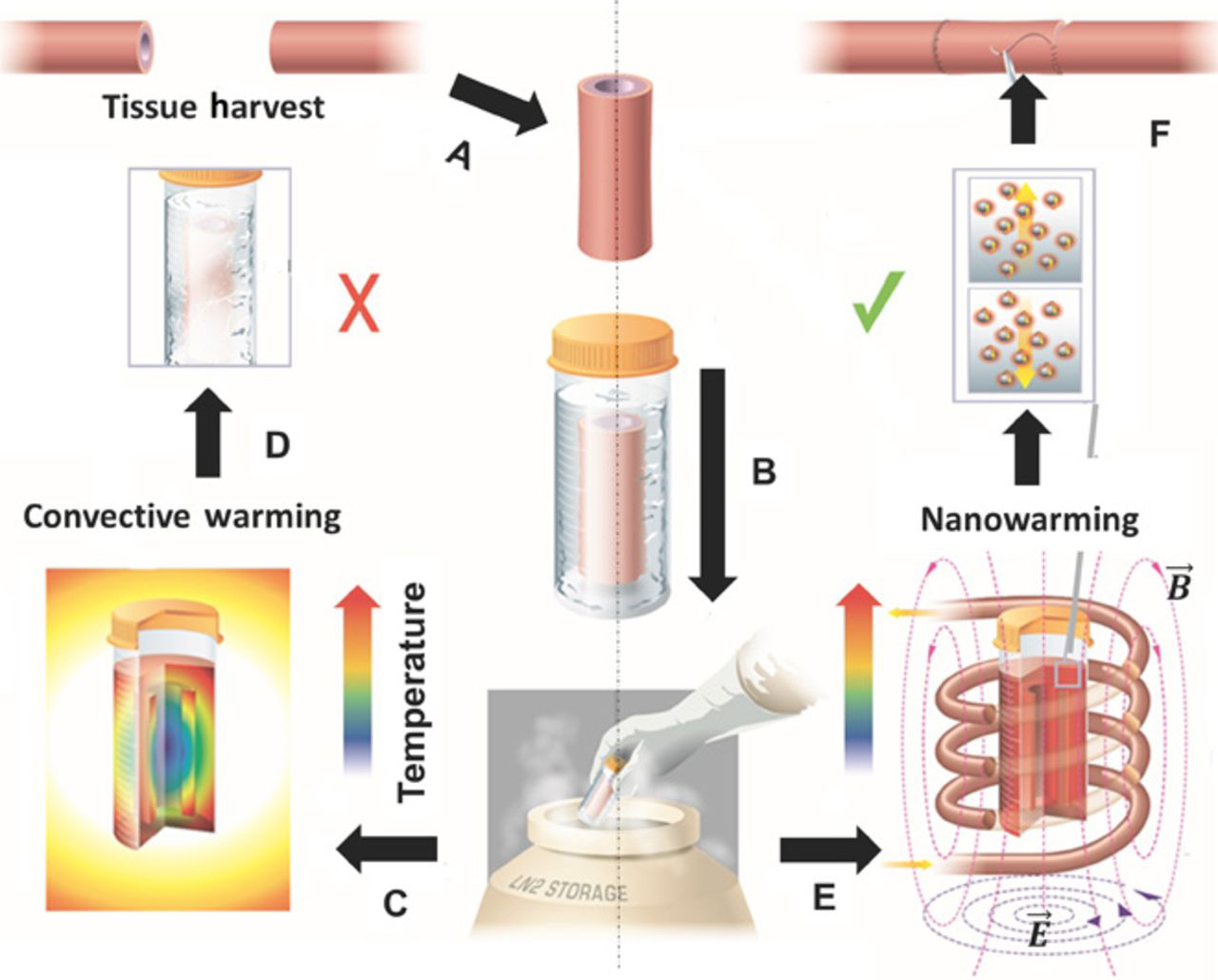 schematic showing the process, called vitrification, for preserving tissue to be transplanted