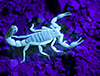This is an image of a scorpion that is glowing green under a black light