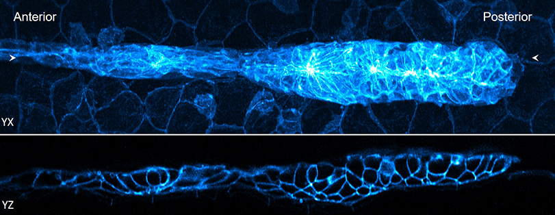 Two long images of a zebrafish embryo with the edges of the cells glowing blue.
