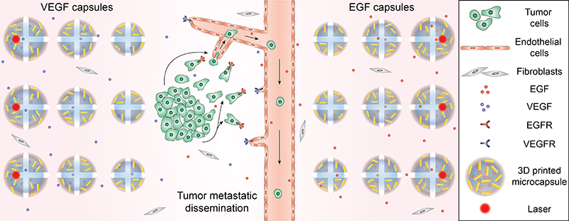 schematic of tumor model displaying integration of tumor cells, blood vessels, and chemical gradients