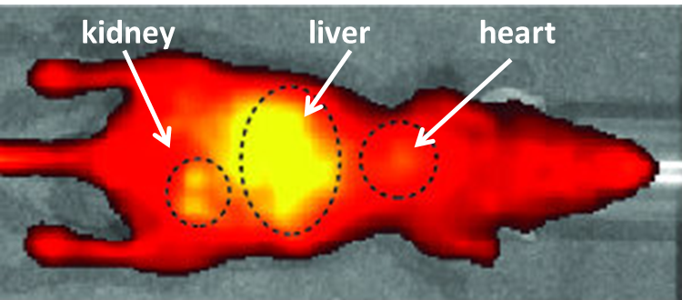 mouse with yellow fluorescence in liver