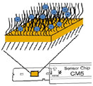 This is an illustration of a surface plasmon resonance sensor chip containing carboxymethylated dextran attached to a gold surface