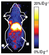 This is an image of PET imaging of targeted nano platforms in mice.Most of the mouse is blue representing low signal. In the middle of the mouse, there is a large bright spot that represents high uptake of the nanoprobe where the tumor is located.