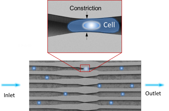 The cell membrane is disrupted when the cells (blue dots) are forced through constrictions in the channels of the microchip.