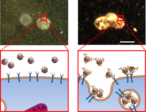 Image and cartoon of gold nanoparticles captured by cell resulting in strong imaging signal.