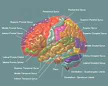 Un nuevo atlas y base de datos del cerebro desarrollados por el International Consortium for Brain Mapping (Instituto Internacional de Mapeo Cerebral, o ICBM) utiliza una plantilla con etiquetas que hacen referencia a las diferentes partes anatómicas del cerebro para ayudar a determinar la variabilidad entre los grupos de cerebros. Todas las imágenes son comparadas con este cerebro objetivo de modo tal que éstas puedan recoger ubicaciones anatómicas individuales y ser correctamente etiquetadas. Cortesía de la imagen de John C. Mazziotta y el ICBM.
