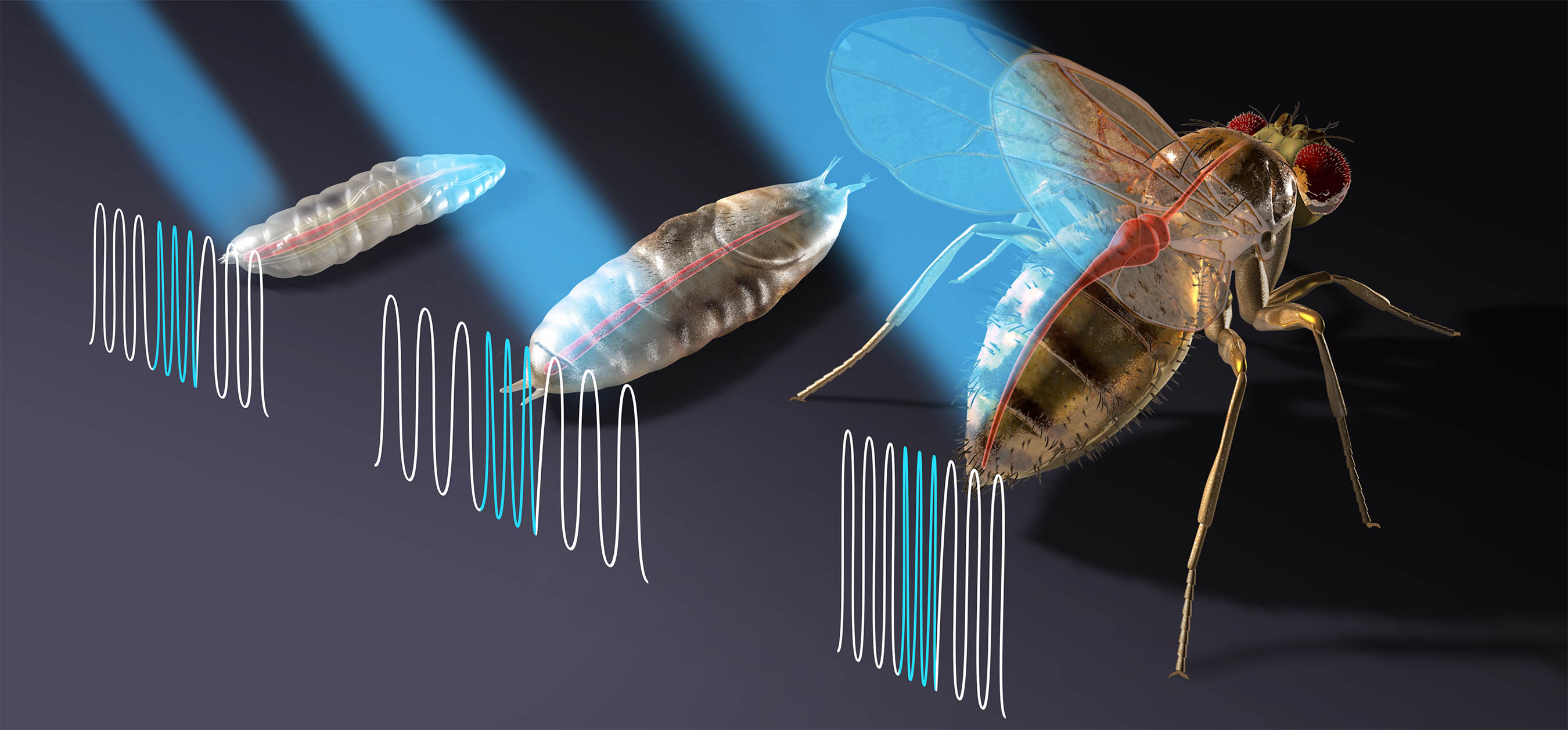 drawing of fruit fly larva, pupa and adult with blue light stimulating heart rhythm